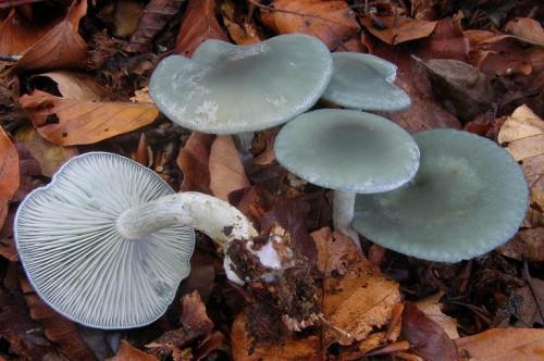 Отравление грибами: через сколько появляются симптоми и первие признаки