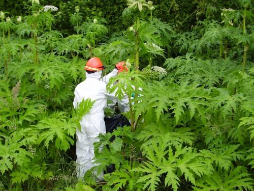 Ожоги ядовитого растения борщевика: лечение, последствия