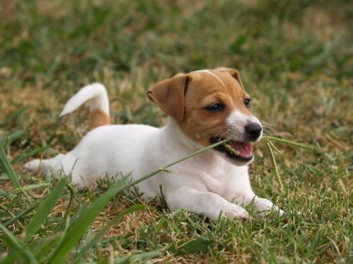 Отравление у щенка что делать, чем лечить: симптоми, лечение