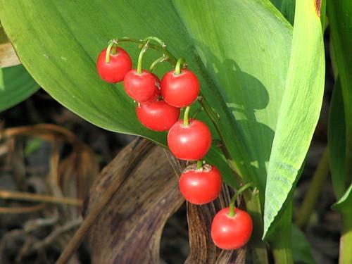 Отравление ядовитими ягодами: симптоми, первая помощь, лечение
