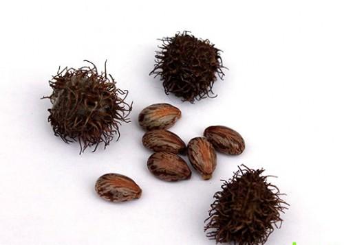Плоды и семена клещевины