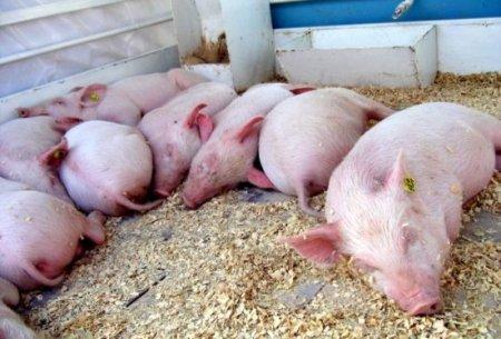 Отравление поросят и свиней: симптоми, лечение
