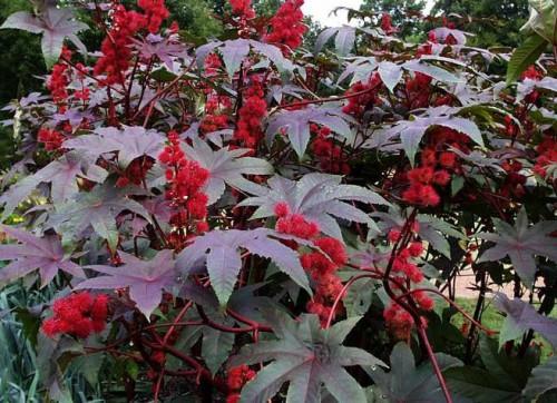 Клещевина ядовитое растение, признаки и лечение отравления