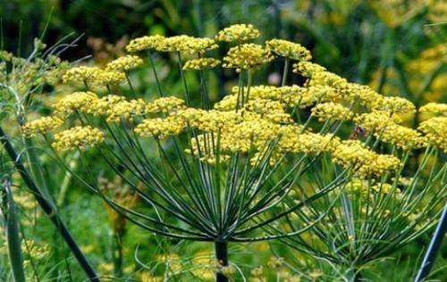 Растение фенхель