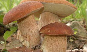 Переработка грибов и ботулизм