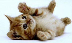 Отравление котенка: что делать?