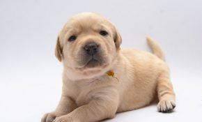 Оказание первой помощи щенку при отравлении