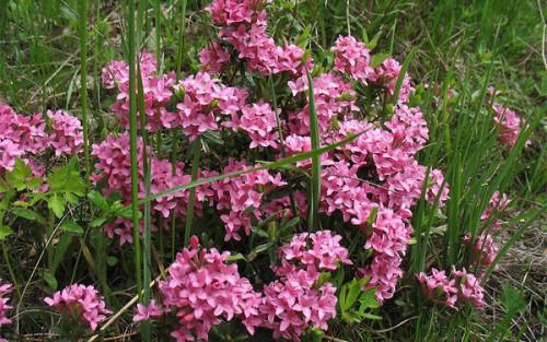 Цветы растения волчье лыко