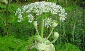 Ядовитое растение Вех или как говорят в народе Цикута