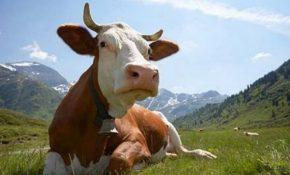 Об отравлении коровы, лечение