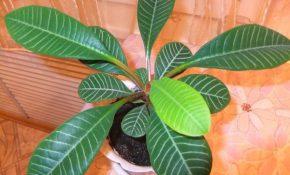 Чем опасно ядовитое растение  молочай комнатный